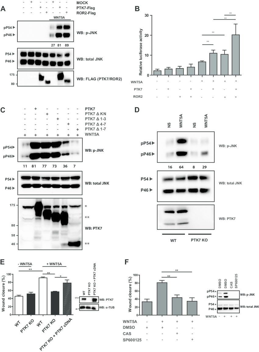 WNT5A utilizes the PTK7-JNK pathway to promote cells