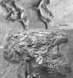 a complete skeleton mnhn sa 15671 found by filhol download scientific diagram [ 850 x 1367 Pixel ]