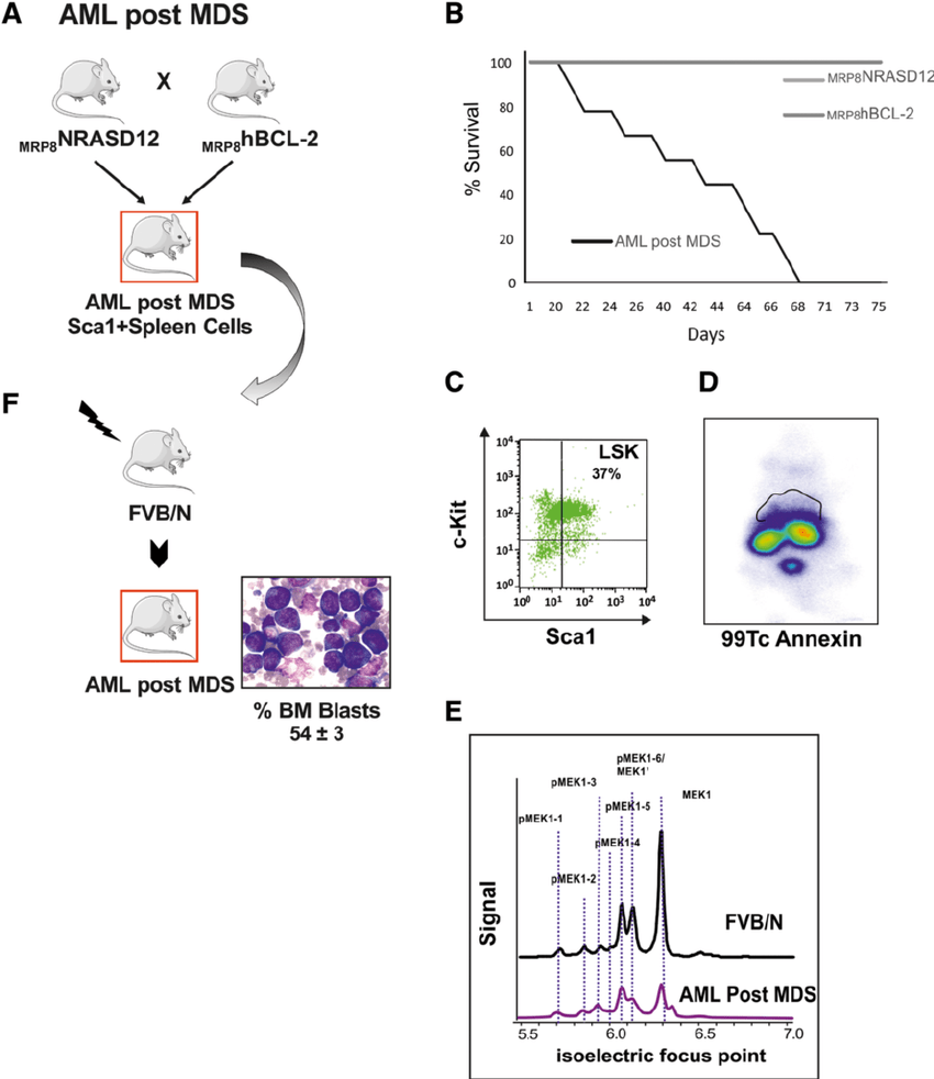 a Schematic representation of the AML post MDS mouse model
