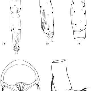 (PDF) A first record of the family Penthalodidae Thor