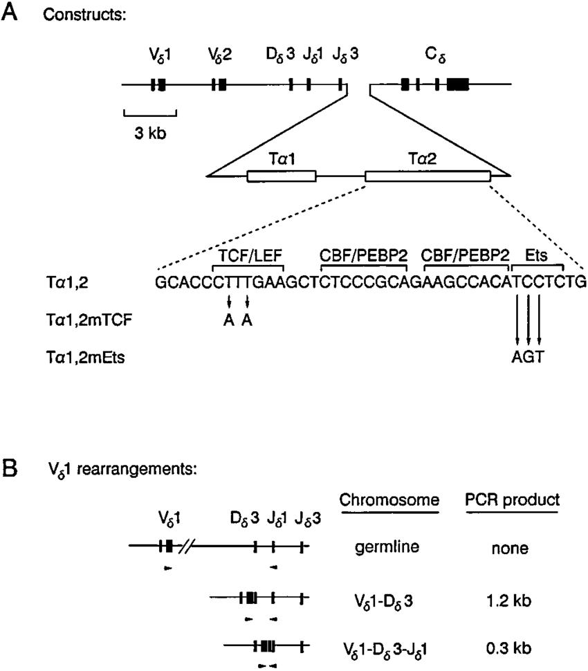 hight resolution of human tcr gene minilocus a diagram of the three t1 2 containing minilocus constructs solid boxes exons open boxes protein binding sites