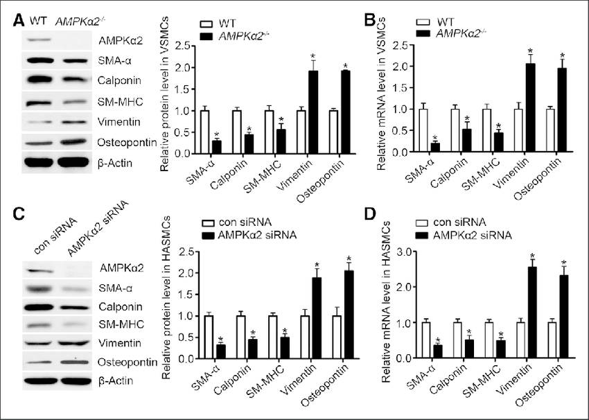 AMP-activated protein kinase (AMPK) α2 deficiency induces
