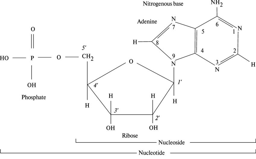 Nucleotide: basic building blocks and specific bonding