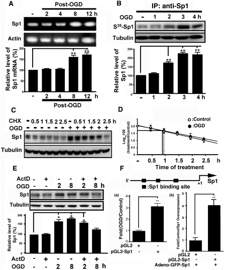 Mechanism underlying the induction of Sp1 expression by