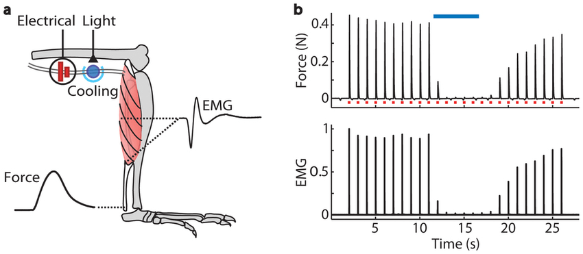 Optical inhibition of electrically evoked motor neuron and