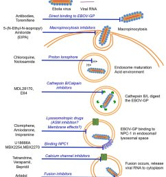ebola virus cell entry mechanism 94 and potential drug modes of action  [ 850 x 1210 Pixel ]