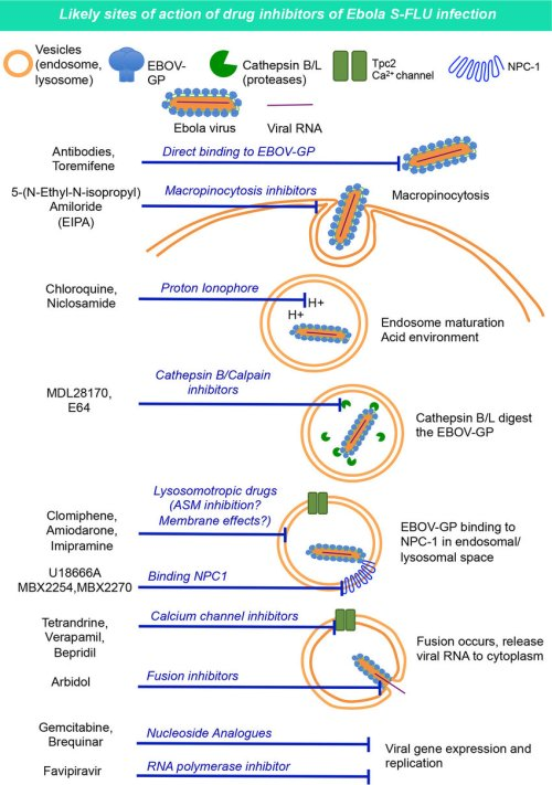 small resolution of ebola virus cell entry mechanism 94 and potential drug modes of action