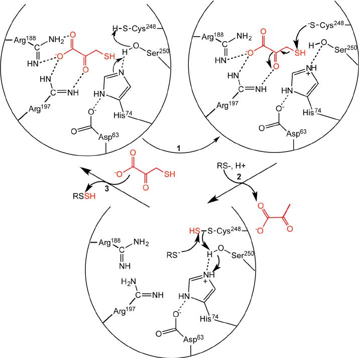 Postulated reaction mechanism of MST. Two arginine