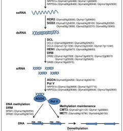 an outline of rna mediated chromatin silencing pathway showing soybean homologues for arabidopsis rnai genes [ 850 x 1077 Pixel ]