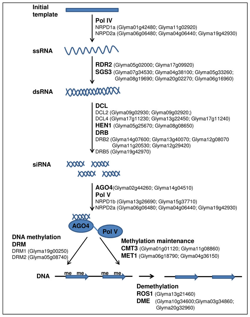 hight resolution of an outline of rna mediated chromatin silencing pathway showing soybean homologues for arabidopsis rnai genes