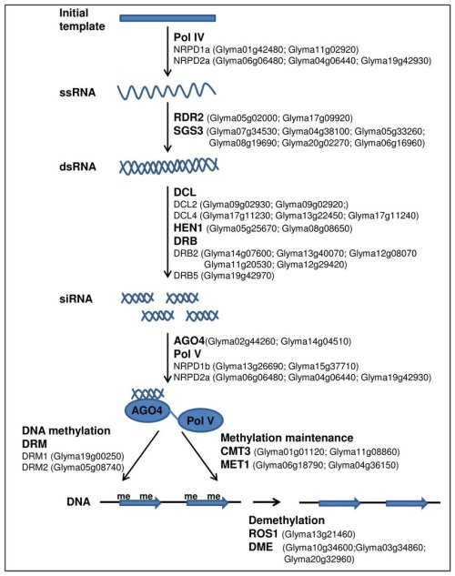 small resolution of an outline of rna mediated chromatin silencing pathway showing soybean homologues for arabidopsis rnai genes