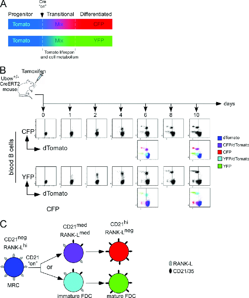 medium resolution of cellular filiation in the ubow mouse a schematic describing that when ubow cells
