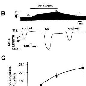 Response of troponin I phosphorylation to p38 MAPK