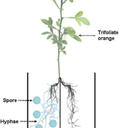 schematic diagram of a two chambered split root system to grow trifoliate orange seedlings [ 850 x 1198 Pixel ]