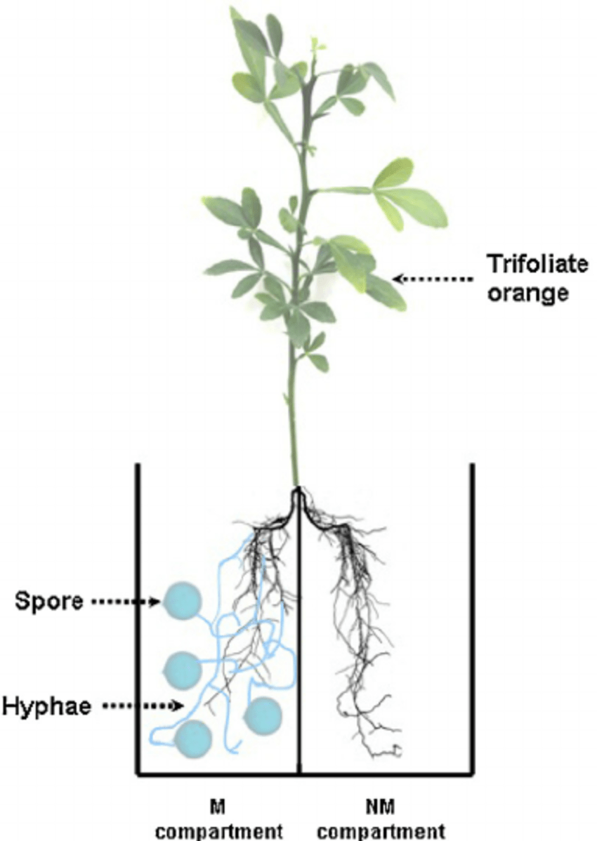 hight resolution of schematic diagram of a two chambered split root system to grow trifoliate orange seedlings