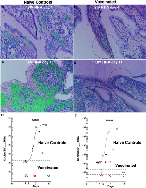 small resolution of vaccine associated inhibition of infection in the cervix and vagina download scientific diagram