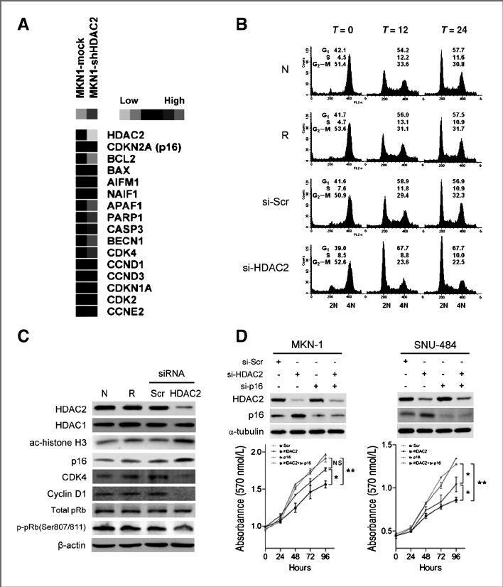 The effects of HDAC2 knockdown on cell-cycle proteins. A