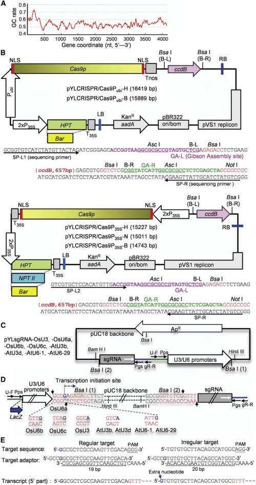 small resolution of a crispr cas9 system for monocot and dicot plants