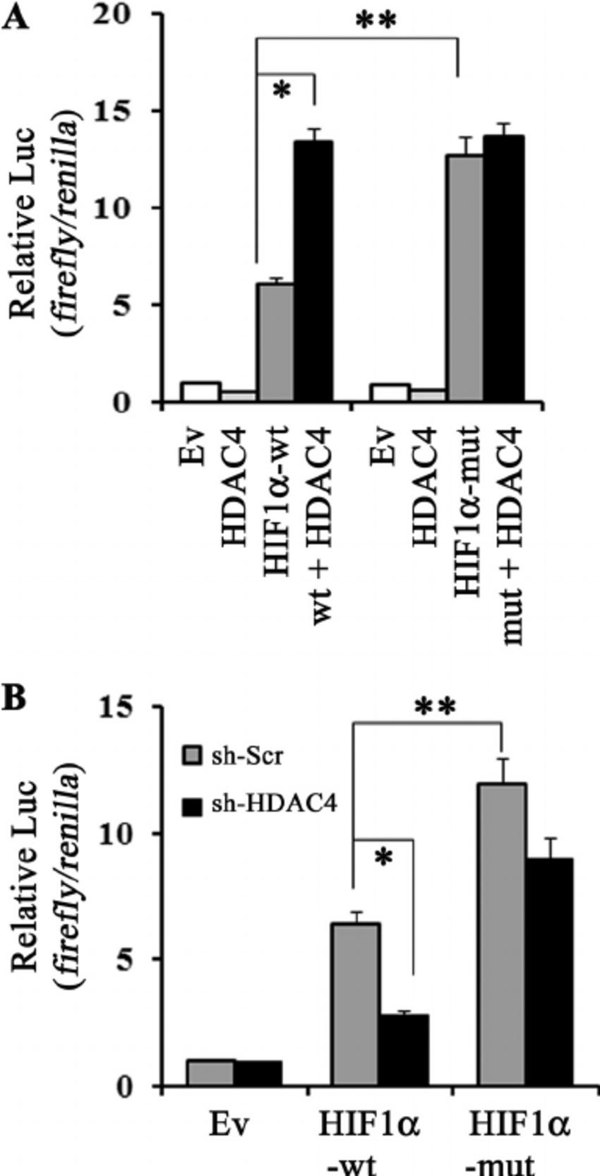 HDAC4 Protein Regulates HIF1α Protein Lysine Acetylation