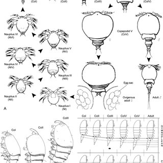 9 Life cycles of parasitic copepods. A: drawing of the two