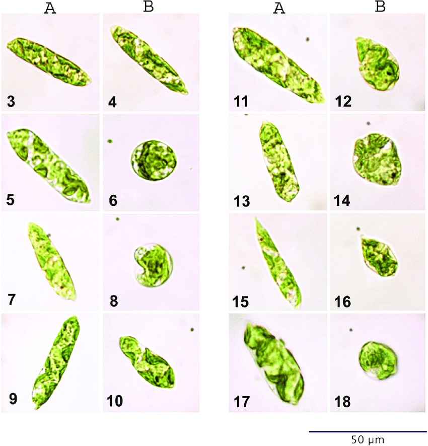 euglena cell diagram with labels 2010 ford edge fuse gracilis morphology cells from maximal a and download scientific
