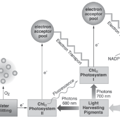 Light Reactions Photosystem Diagram How To Tie A Simplified Of The Reaction Photosynthesis Chlorophyll Fluorescence Emanates From