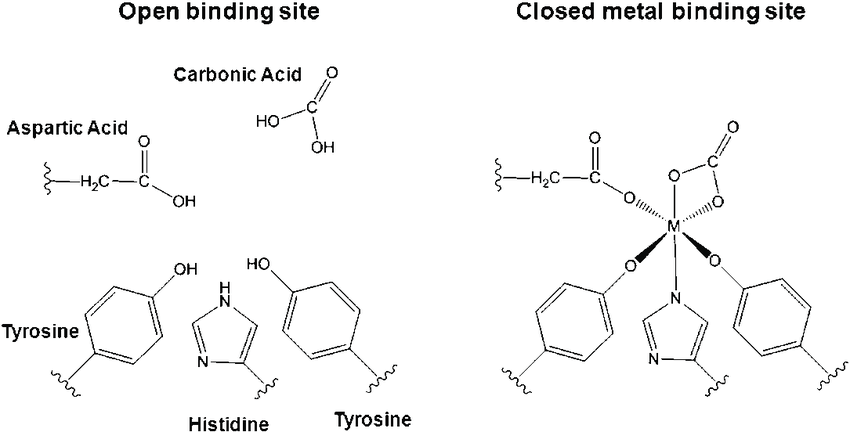 Structure of the open and closed metal binding sites found