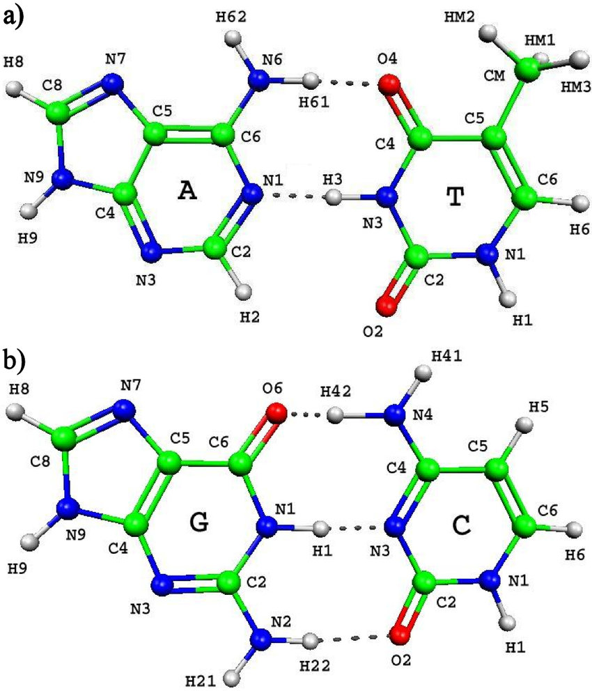 hight resolution of complementary base pairs adenine thymine at and guanine cytosine gc