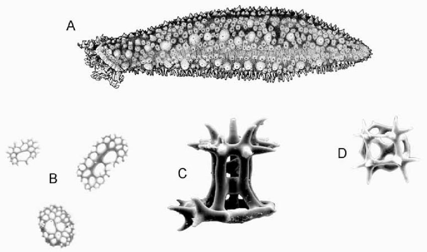 Holothuria (Halodeima) grisea Selenka, 1867. A, whole