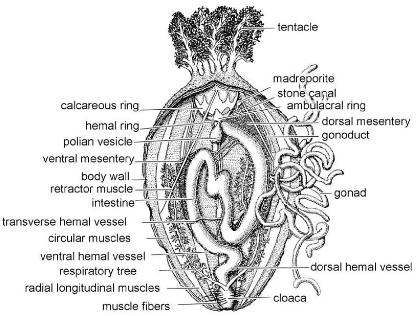 A cucumariid holothurian, dissected along the left ventral