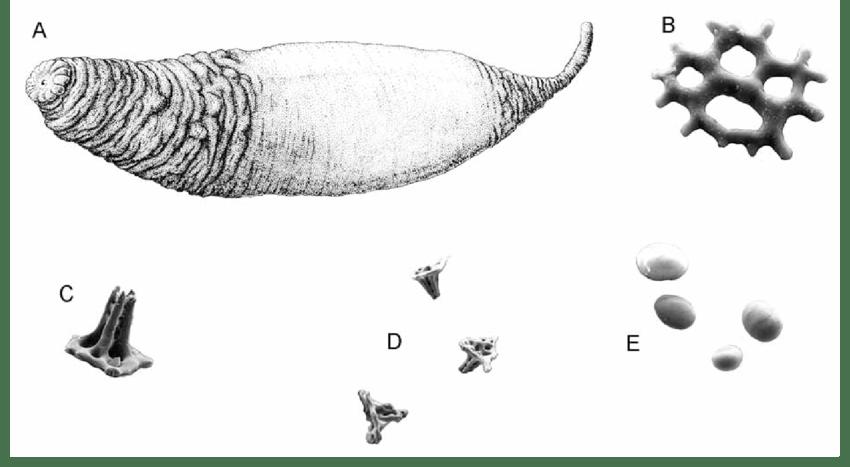 Molpadia oolitica (Pourtalès 1851). A, whole animal; B, C