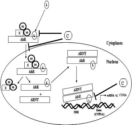Schematic presentations of steps where chemopreventive