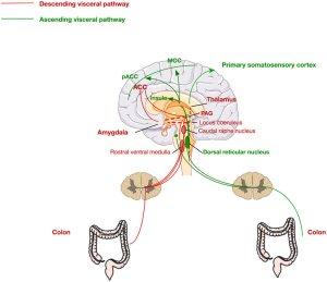 Ascending and descending pathways mediating visceral pain