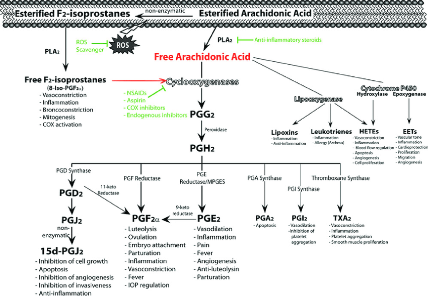 Biosynthesis of eicosanoids from arachidonic acid and their postulated... | Download Scientific Diagram