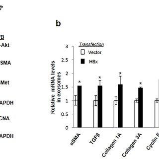 (PDF) The HBx gene of hepatitis B virus can influence
