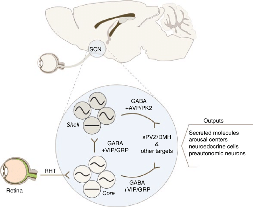 3 Schematic of SCN circuit responsible for circadian