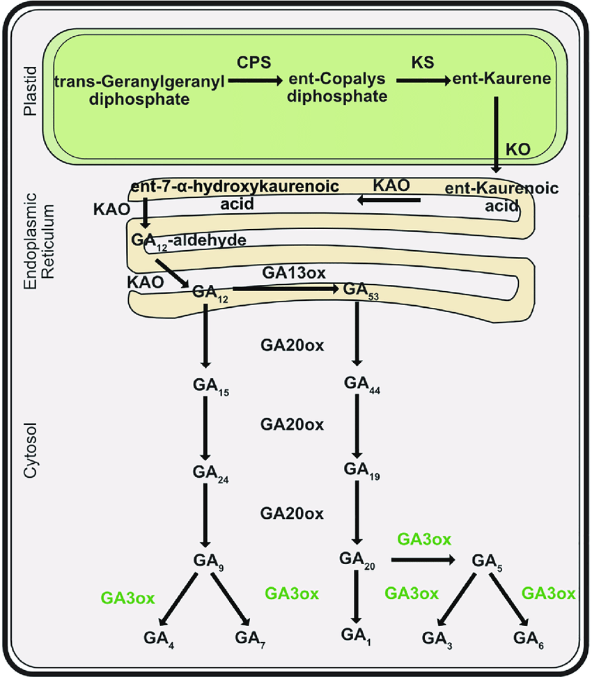 medium resolution of the cellular localizations of metabolites are in plastids endoplasmic reticulum and cytoplasm plant bioactive gibberellins are ga 4 ga 7 ga 1