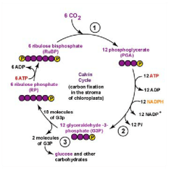 What Is An Energy Transfer Diagram Causal Loop Template 1: Schematic Representation Of The Calvin Cycle. Carboxylation... | Download Scientific