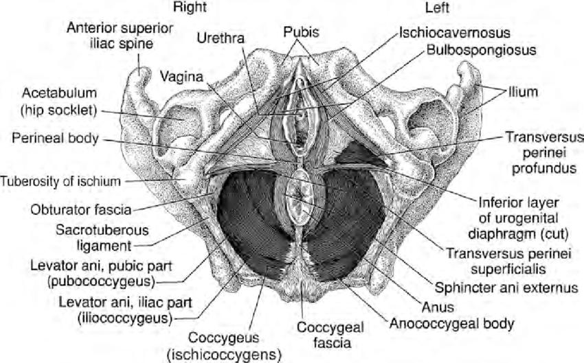 Pelvic floor muscles as seen from below in supine female