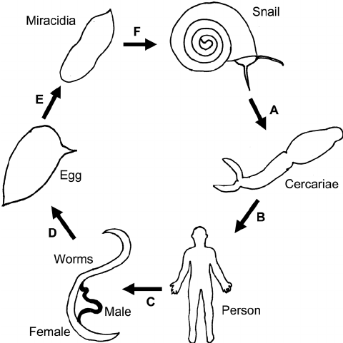 Schistosomiasis life cycle. A , The snail releases