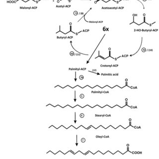 Fatty acid metabolism. A. Biosynthesis of cytoplasmic