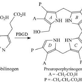 The reaction catalysed by porphobilinogen deaminase. Four