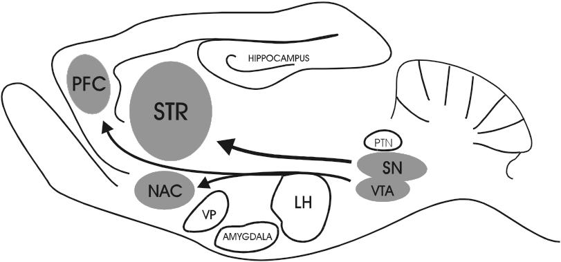 Presentation of a sagittal rat brain section illustrating