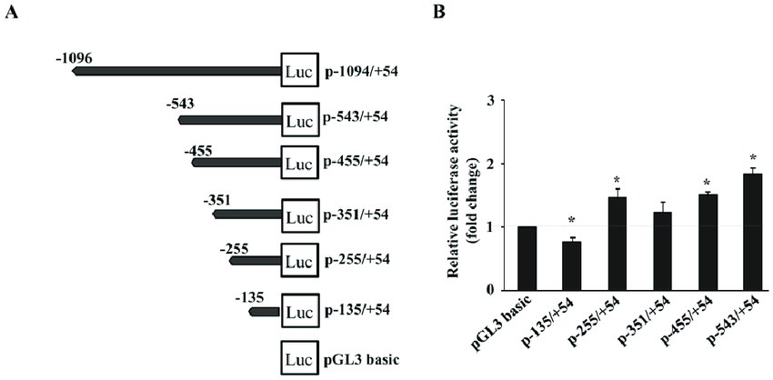 Deletion analysis of 1 kb proximal mouse PXR promoter by