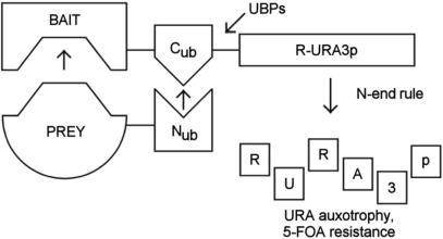 Principle of the yeast R-URA3p-based split-ubiquitin