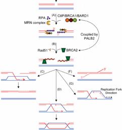 homology directed repair in eukaryotic cells [ 850 x 1135 Pixel ]