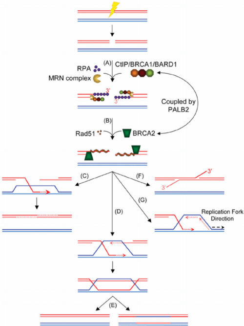 small resolution of homology directed repair in eukaryotic cells