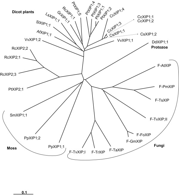 Phylogenetic analysis of XIPs. All 35 XIPs from dicot