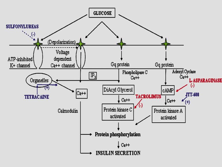 Signaling cascade of glucose stimulated insulin secretion