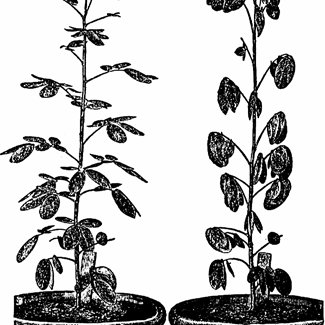 Phenomenon of sleep in plants. Darwin copied these figures